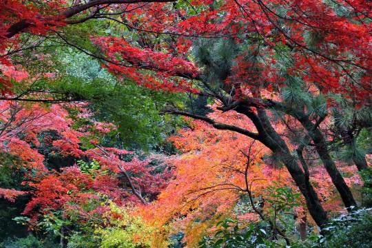 Tokio - jesienne liście